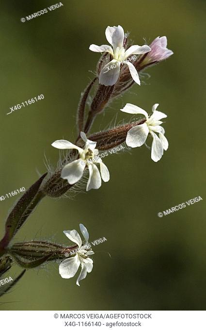 Small-flowered Catchfly Silene gallica