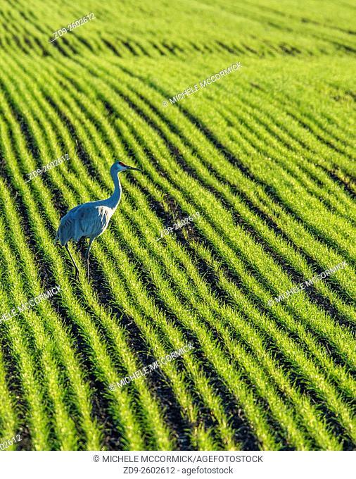 A sandhill crane seeks food in a green field