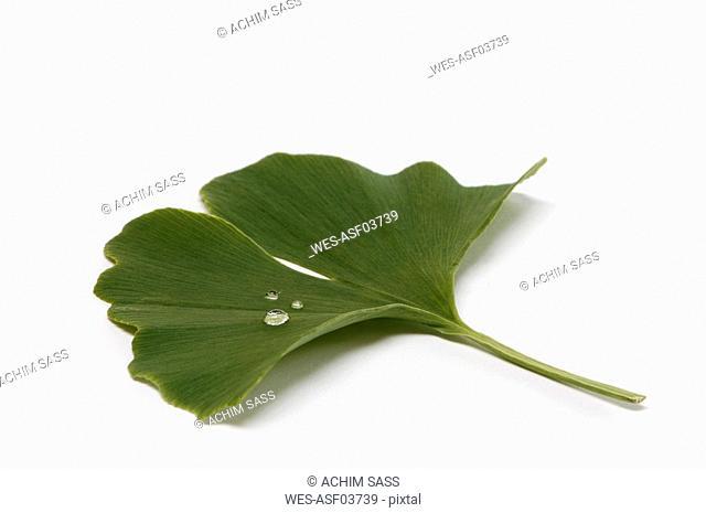 Gingko, Medicinal plant, close up