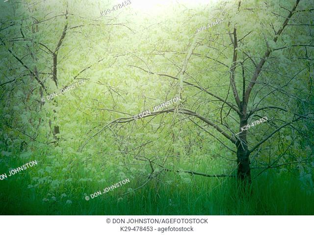 Emerging spring foliage in pin cherry trees. Slide montage. Sudbury. Ontario, Canada