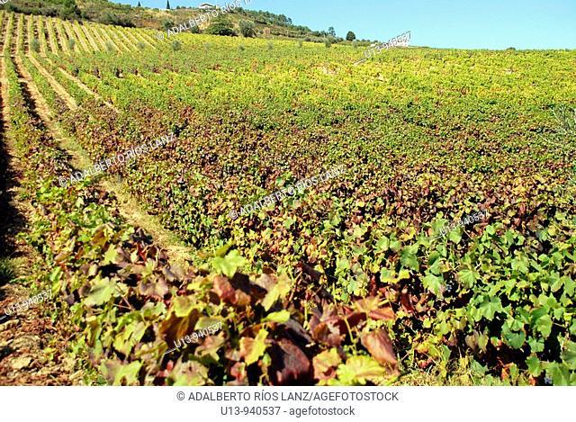 Vineyard, Douro river valley, Pinheiro, Portugal