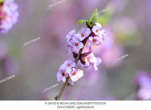 Close-up of a blooming mezereon (Daphne mezereum) branch in a forest on a sunny evening in spring