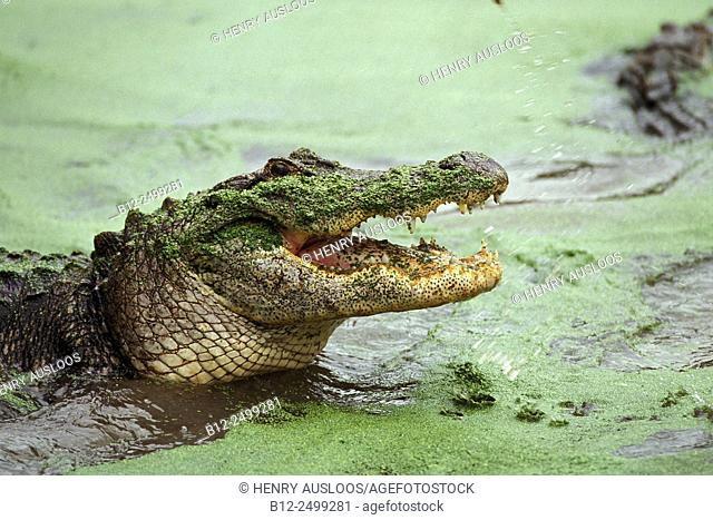 Alligator (Alligator mississipiensis) with open mouth, Florida, USA