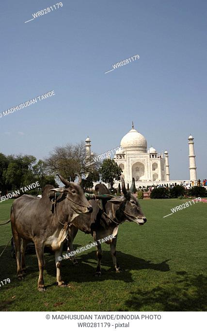 Bullocks used for grass cutting of lawn in garden at Taj Mahal Seventh Wonders of World , Agra , Uttar Pradesh , India UNESCO World Heritage Site