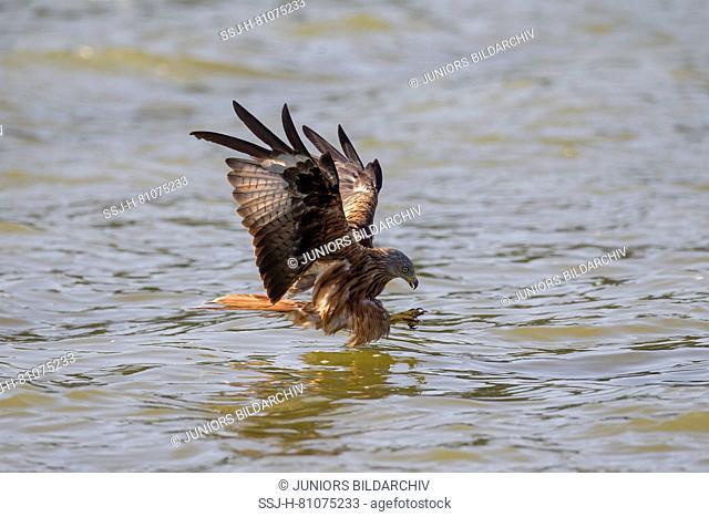 Red Kite (Milvus milvus) catching a fish. Germany