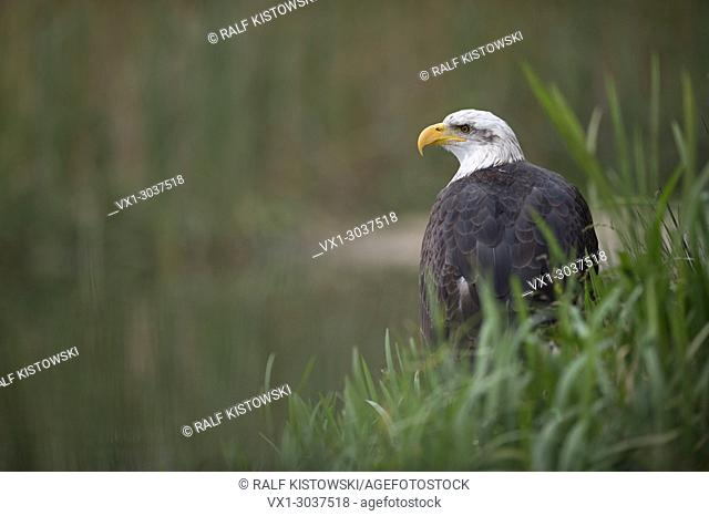 Bald Eagle / American Eagle ( Haliaeetus leucocephalus ) sits in green vegetation of a swamp close to a stretch of water