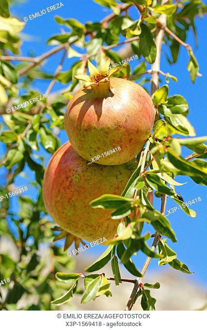 Pomegranates  Lleida, Catalonia, Spain