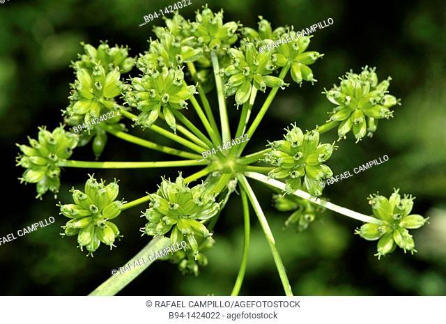 Apiaceae plant. Osseja, Pyrenees-Orientales, Languedoc-Roussillon, France
