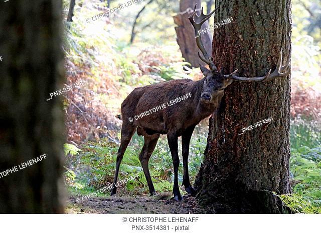 France, Burgundy, Yonne. Area of Saint Fargeau and Boutissaint. Slab season. Stag in a wood striking a trunk