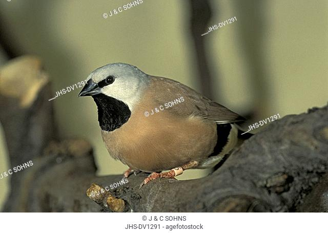 Black-Throated Finch Parson`s Finch Poephila cincta Australia