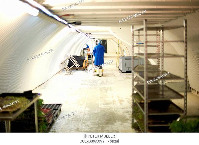 Workers preparing micro greens in underground tunnel nursery, London, UK