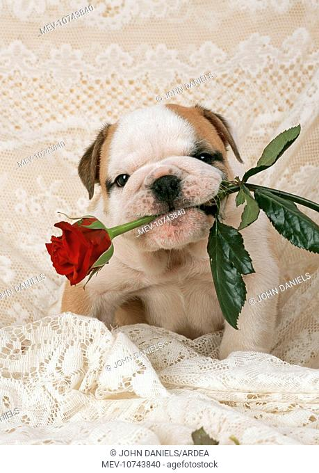 DOG - Bulldog puppy with rose in mouth
