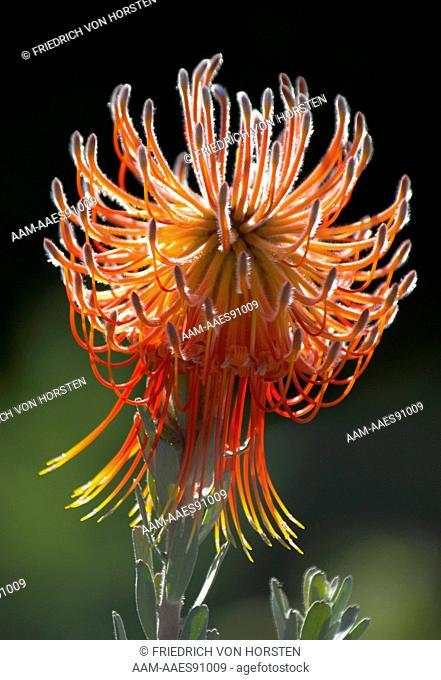 Pincusion, Leucospermum reflexum