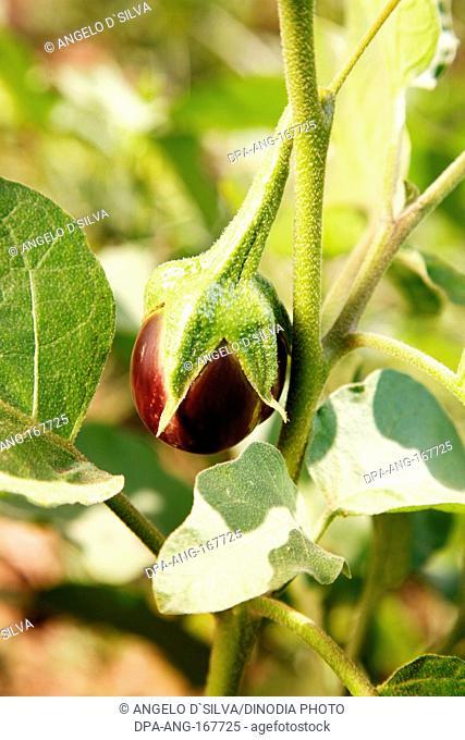 Vegetable , eggplant aubergine brinjal solanum melongena on plant