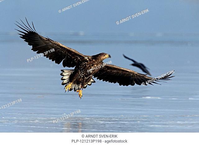 White-tailed sea eagle Haliaeetus albicilla juvenile landing on ice of frozen lake in winter