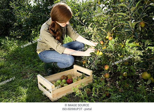 Young woman picking fresh apples