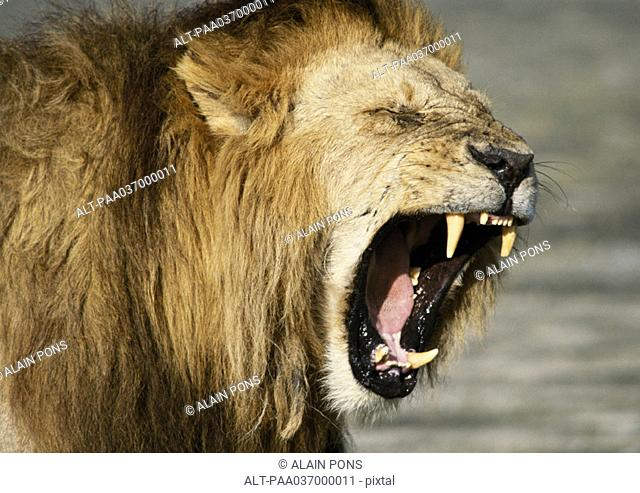 Africa, Kenya, lion baring fangs, focus on head