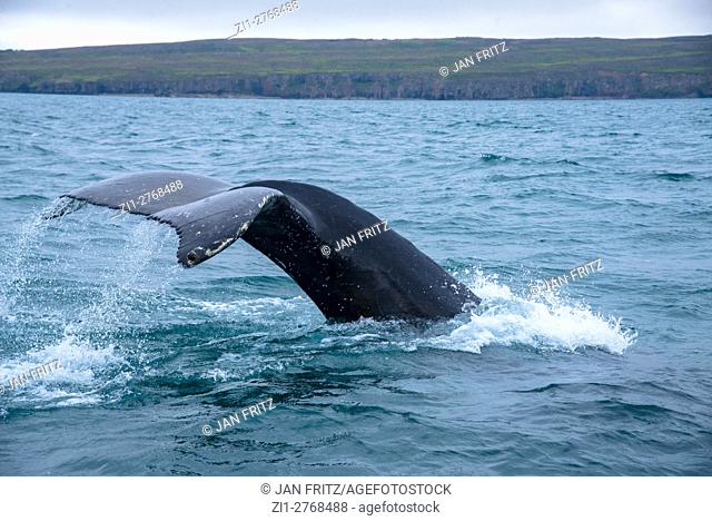 tale of diving whale at fjord in Iceland