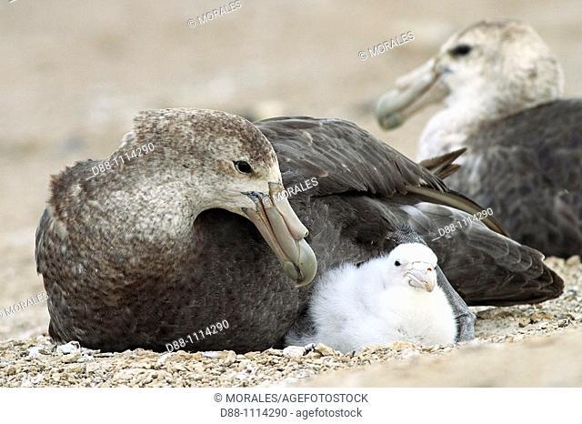 Southern Giant Petrel (Macronectes giganteus). Pebble Island, Falkland Islands