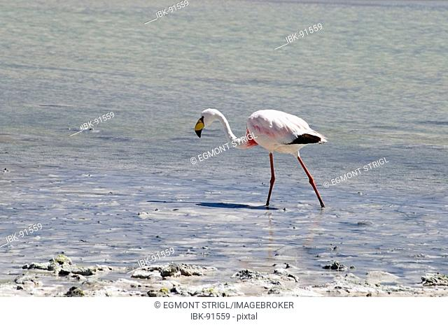 James flamingo (lat.: phoenicoparrus jamesi) at Laguna Onda, Bolivia