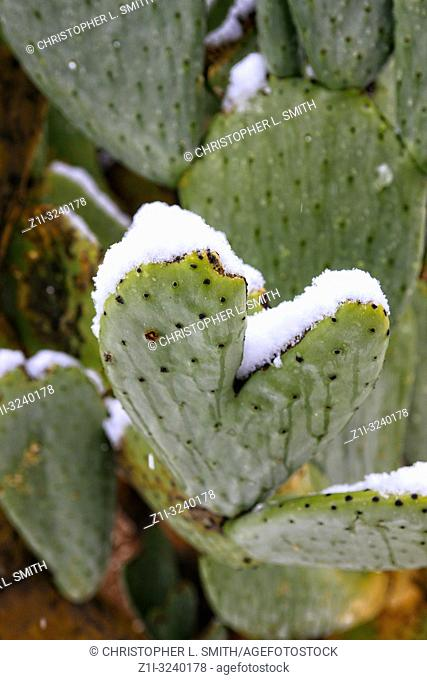 Desert Cacti covered in snow during a rare winter storm in Tucson AZ