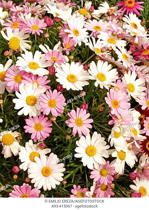 Margaritas blancas y rosas (Chrysanthemum hybr.)