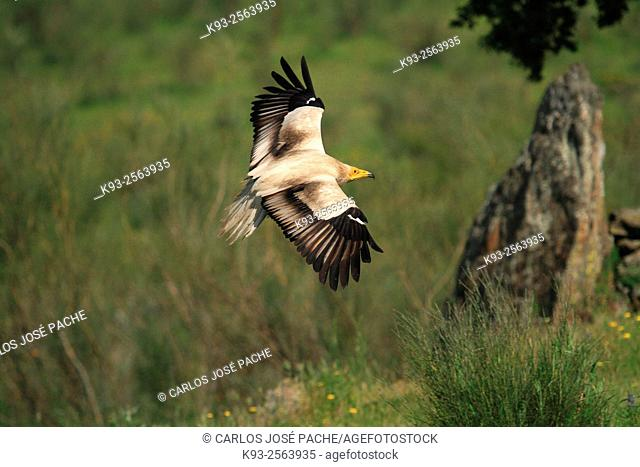 Egyptian vulture (Neophron percnopterus) in flight. Extremadura, Spain