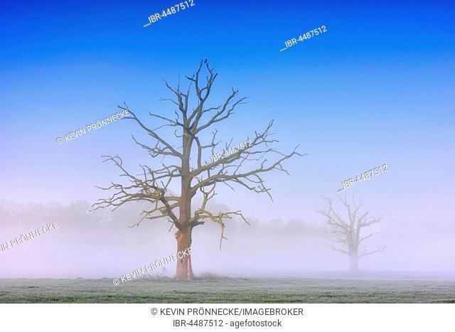 Dead solitary oaks (Quercus robur) in dense morning fog, Middle Elbe Biosphere Reserve, near Dessau, Saxony-Anhalt, Germany