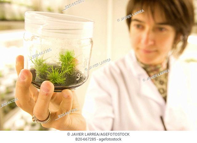Pines. In vitro culture. Plant Production and Protection, Biotechnology Laboratory, Neiker Tecnalia, Instituto de Investigación y Desarrollo Agrario, Ganadero