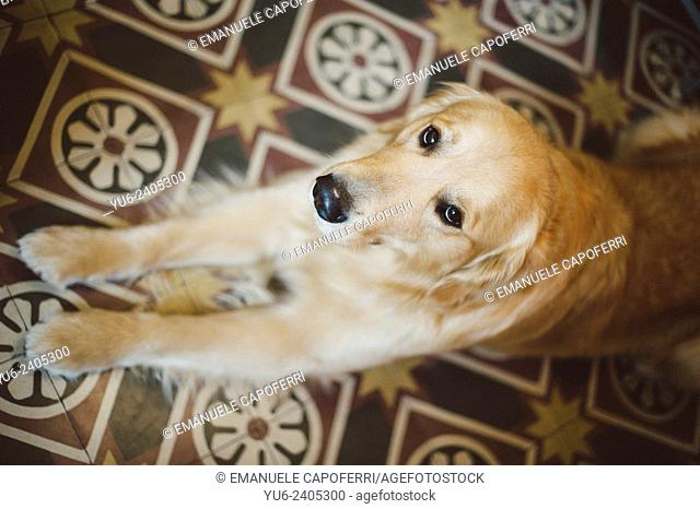 Portrait of Golden retriever in the house