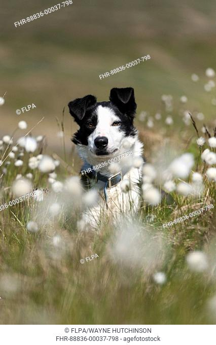 Border collie sheepdog on moorland in among flowering cotton grass. Cumbria, UK