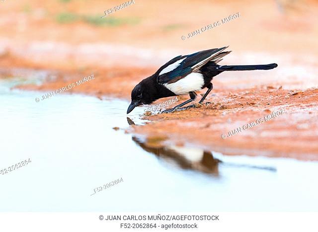 Eurasian Magpie, European Magpie, or Common Magpie (Pica pica), Los Monegros, Zaragoza province, Aragon, Spain, Europe