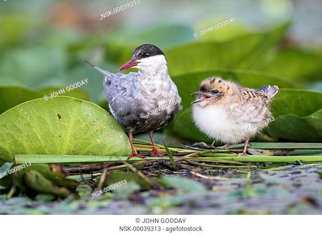 Adult Whiskered Tern (Chlidonias hybrida ) with chic on a nest of floating Lily pads, Hungary, Bekes, Lake Tisza