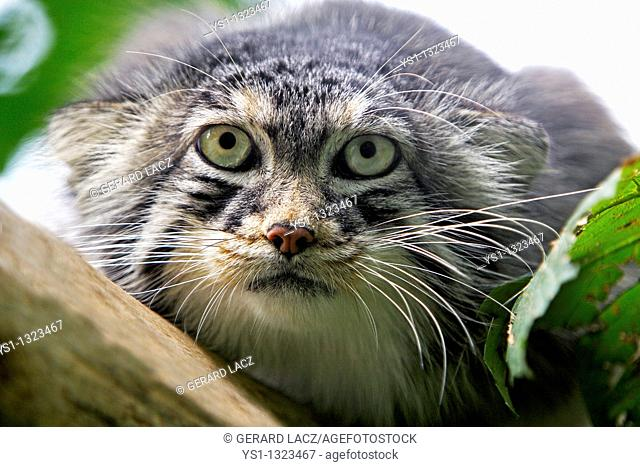 MANUL OR PALLAS'S CAT otocolobus manul, HEAD OF ADULT