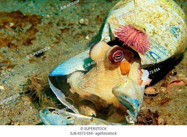 Common Octopus, Octopus vulgaris, hiding in broken beer can