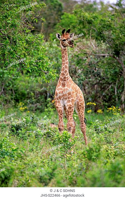 Cape Giraffe, (Giraffa camelopardalis giraffa), young alert, Saint Lucia Estuary, Isimangaliso Wetland Park, Kwazulu Natal, South Africa, Africa