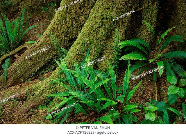 Coastal rainforest detail with Deer Fern (Blechnum Spicant),Pacific Rim National Park near Tofino,British Columbia,Canada