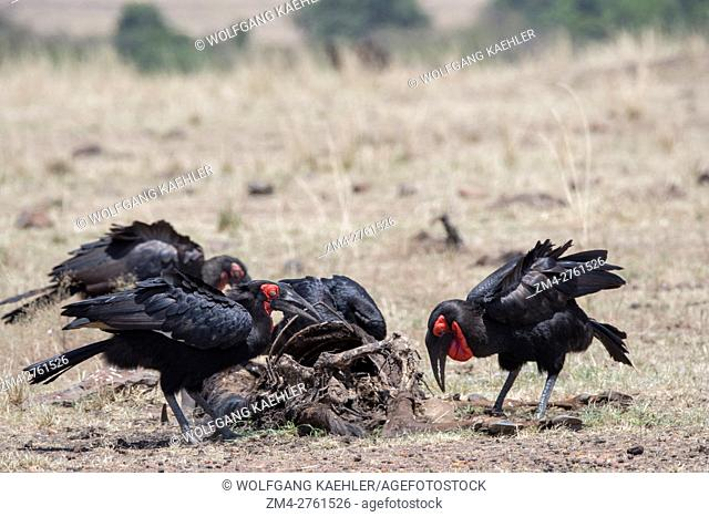 A group of Ground hornbills (Bucorvidae) are feeding on a wildebeest carcass in the grasslands of the Masai Mara National Reserve in Kenya