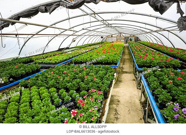 England, Leicestershire, Ravenstone. Inside a commercial nursery polytunnel growing geraniums and other plants