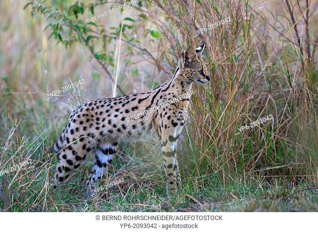 Serval (Leptailurus serval) in savannah, Masai Mara, Kenya