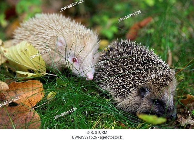 Western hedgehog, European hedgehog (Erinaceus europaeus), normal colored and albinotic variety in a meadow, Germany, Bavaria