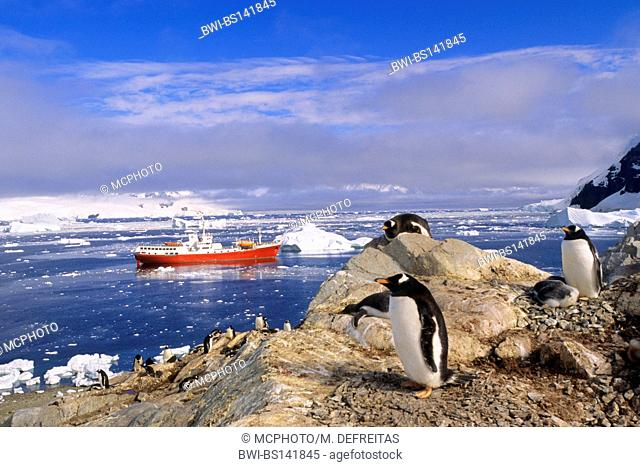 gentoo penguin (Pygoscelis papua), colony, Chile