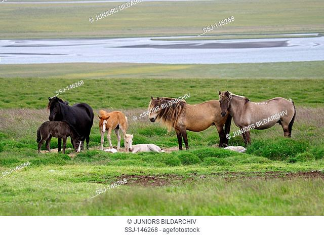 icelandic horses with foals - standing on meadow