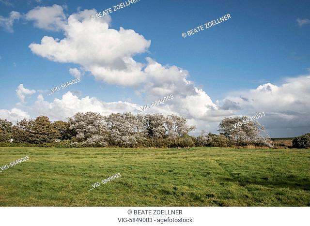 DEUTSCHLAND, MORSUM/SYLT, 30.09.2016, Weißlich leuchten die Blätter der Silberpappeln (Populus alba) in der Herbstsonne und bewegen sich im Wind