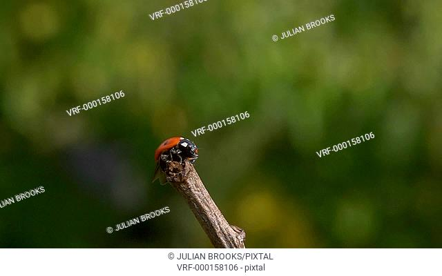 ladybird taking off from the end of a twig, slow motion 2
