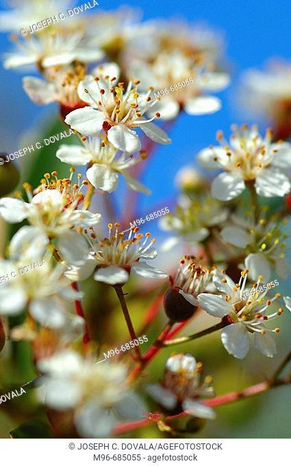 Pepper tree in flower