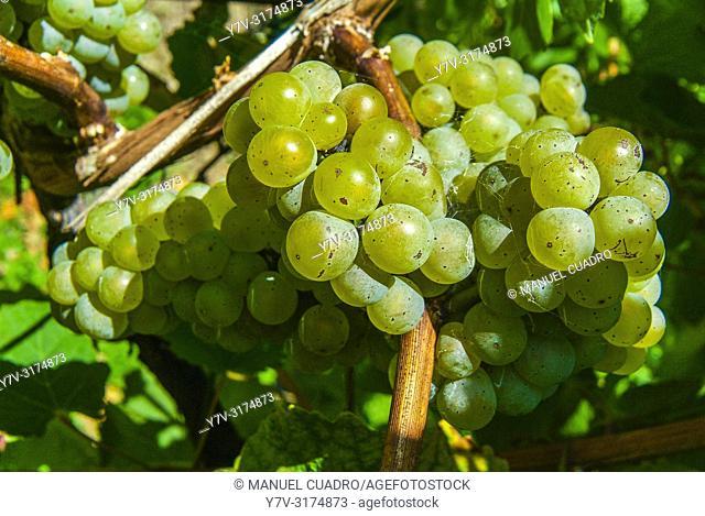 Bunch of grapes in vvineyard, Hondarrabi zuri variety. Bodega Gorrondona, Bakio, Biscay, Basque Country, Spain