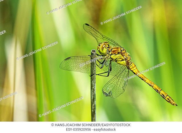 Ruddy darter, female sitting on a grass in Germany