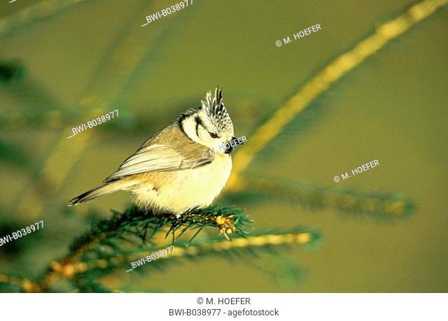 crested tit (Parus cristatus, Lophophanes cristatus), sitting on a twig, Germany, Westerwald