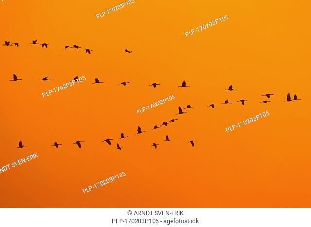 Common Crane / Eurasian Cranes (Grus grus) flock in flight silhouetted against sunrise / sunset